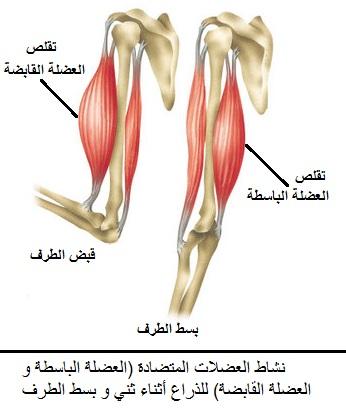 ~ تحضير و مناقشة دروس مادة العلوم 2AS ~(2019)~ معا ً نَحو التَميز . . .  Biceps-and-triceps